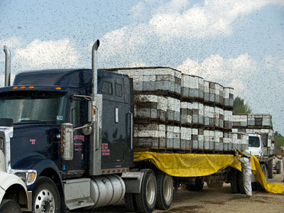 truckload of honeybees