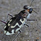 Tiger beetle's chase highlights mechanical law