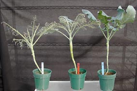 damaged broccoli plants