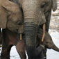 Elephant expert shares calls, images from the wild