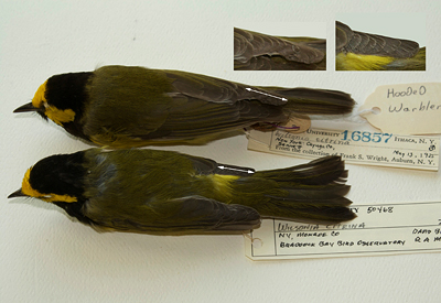 hooded warblers