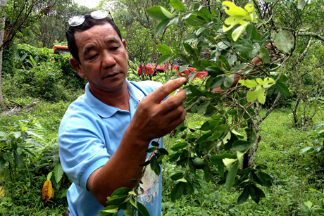 Local calamansi grower
