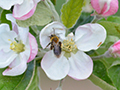 Ground bees on apple