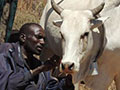 pastoralists fit GPS collar on cow