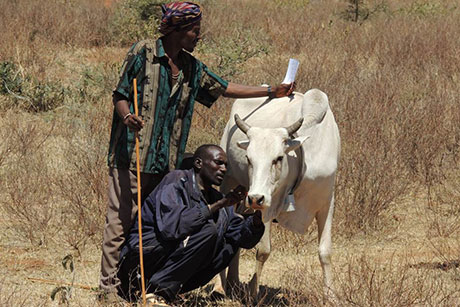 Man tagging cow
