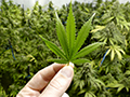 Hand holding marijuana leaf