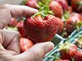 Archer strawberry