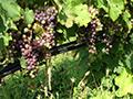 Vineyard undervine