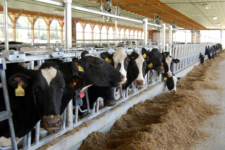 New Barn Makes Cows And Researchers Happier Cornell