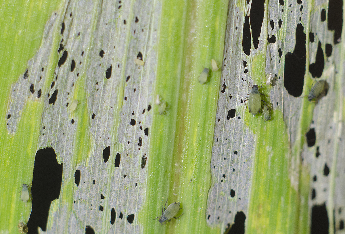 aphids feed on corn leaf