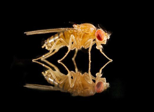fruit fly with reflection