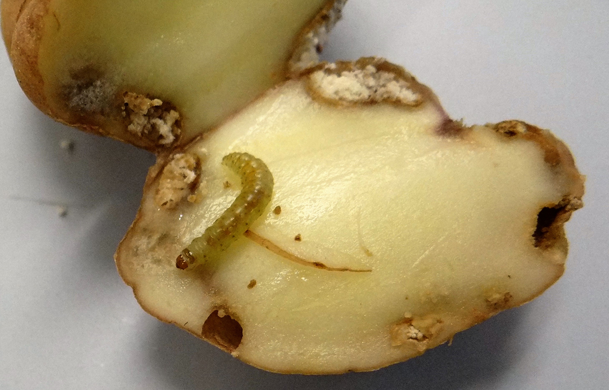 Tuber with moth larvae